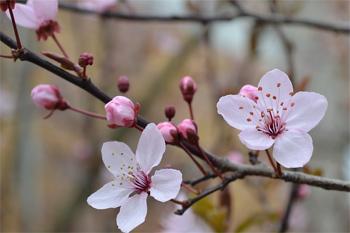 Kirschblüte auf der Hummelbachaue